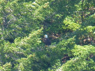 Bald Eagle near Huntley Park