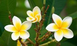 Golden Frangipani  (गोल्डन फ्रेंग्पानी)