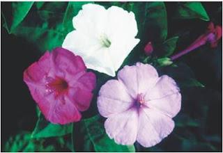 flor de mirabilis jalapa apresenta três fenótipos