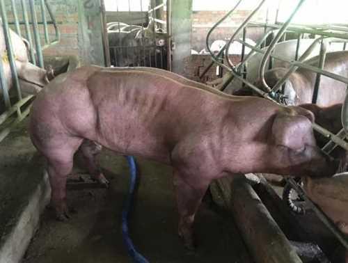 Inilah Babi Berotot Kekar di Kamboja