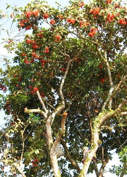 Rambutan Nutrition Facts And Health Benefits Natural