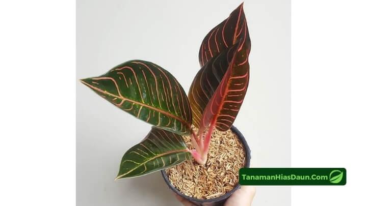 Cara-Memilih-Aglaonema-Pride-of-Sumatera
