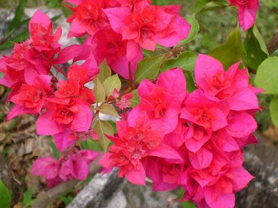 8 Khasiat Bunga Bougenvile Bagi Kesehatan Tubuh