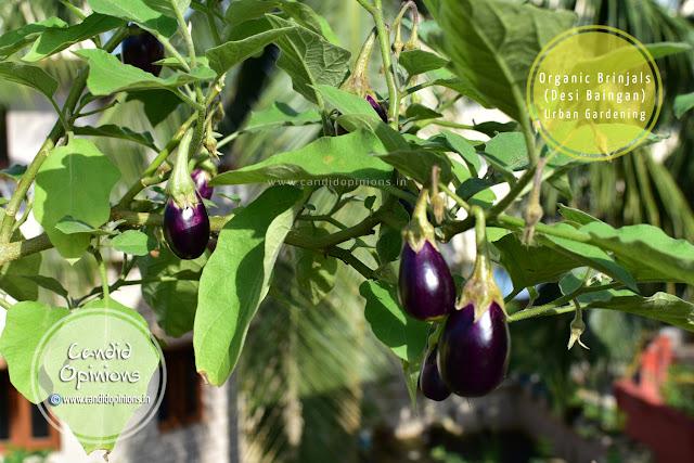 Urban Gardening: Harvesting Organic Eggplants
