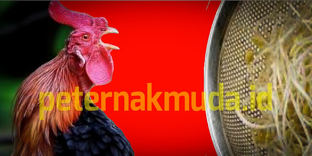 Manfaat Taoge ke ayam