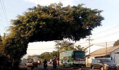 lokasi pohon aneh di malang