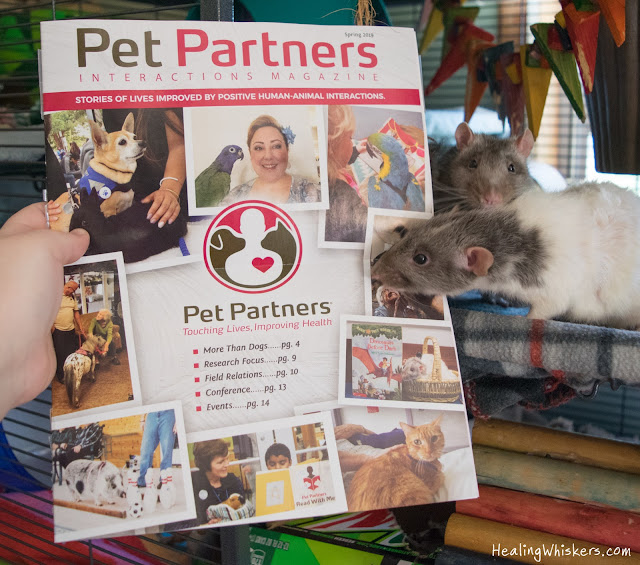 Vincent the Therapy Rat with Pet Partners Interactions Magazine