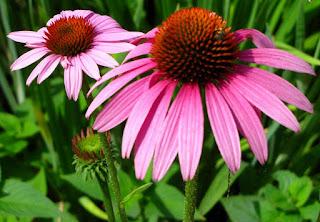 tanaman herbal herpes , tumbuhan herbal untuk herpes , tumbuhan herbal obat herpes , tumbuhan herbal untuk penyakit herpes , tanaman herbal untuk herpes genital , tanaman herbal obat herpes