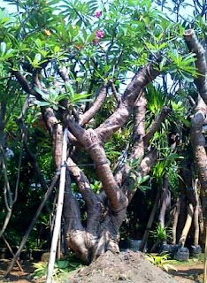 Penjual pohon kamboja fosil