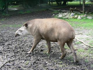 Brazilian+tapir+the+most+endangered+anim