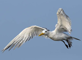 Lesser crested tern (Thalasseus bengalensis) in flight