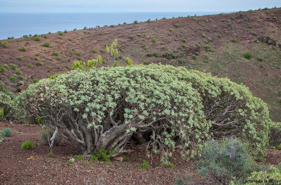 Malpaís de Güímar cuenta con uno los tabaibales más importantes de la isla de Tenerife y también de Canarias.