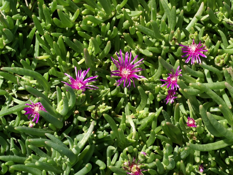 faaxaal photos nature gratuites et libres de droits photo d 39 aizoaceae d losperme de cooper. Black Bedroom Furniture Sets. Home Design Ideas