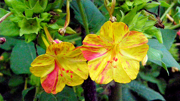 two variegated yellow blooms that look like hibiscus