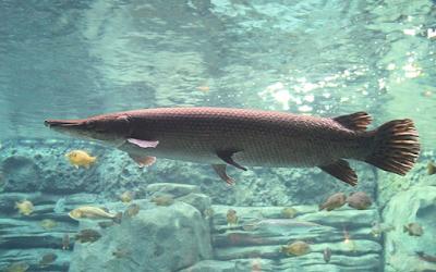 Klasifikasi Dan Morfologi Ikan Aligator dari Amerika