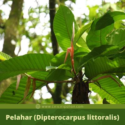 Pelahar (Dipterocarpus littoralis)