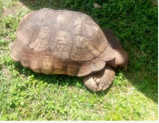 344-Year-old ' Alagba ' tortoise in Soun Of Ogbomoso Is Dead