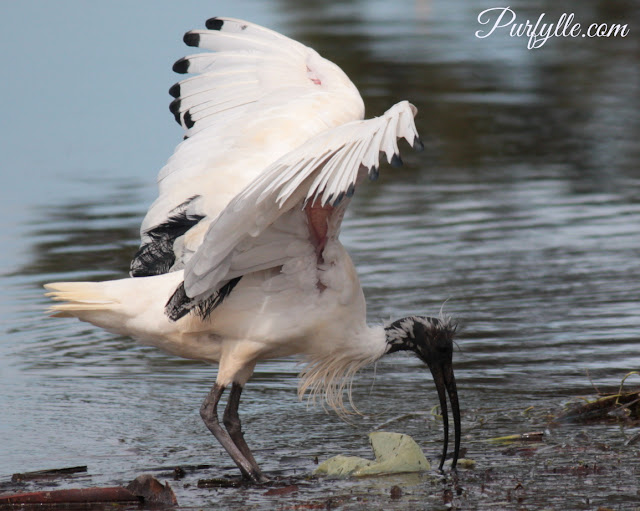 Australian White Ibis with wings raised displaying red skin on the underside of the wing.