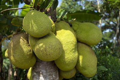 Efek samping dari buah nangka