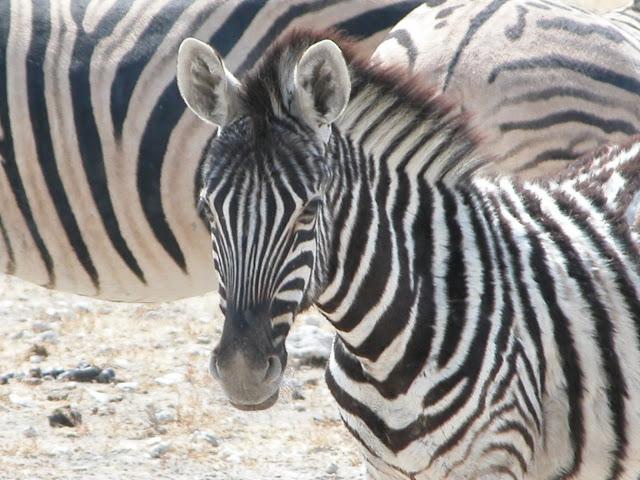 Etosha Nationalpark Zebra