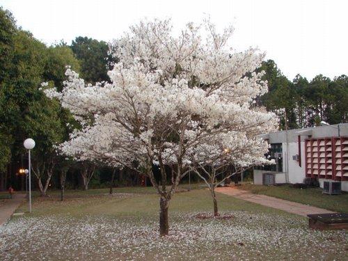 Ipê Branco (Tabebuia roseo alba)