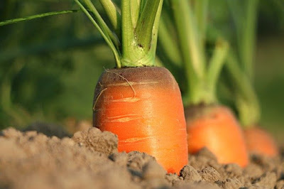 The most effective method to Grow Carrots