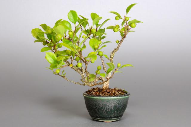 ツルウメモドキY(蔓梅擬盆栽)Celastrus orbiculatus bonsai