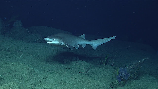 Bluntnose sixgill shark, image by NOAA Ocean Explorer from USA
