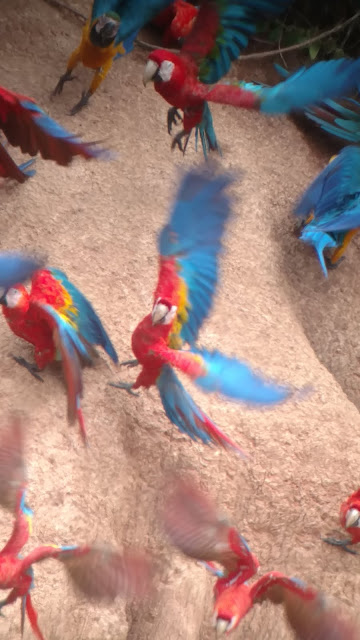macaws @ clay-lick Tombopato Reserve
