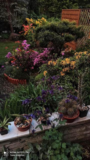 Azalie i różaneczniki - inspiracje, zdjęcia
