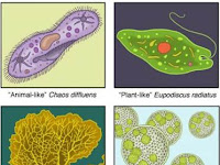 Protista_Ciri ciri dan Klasifikasi Protista Mirip Tumbuhan (Alga) - Biologi Kelas X