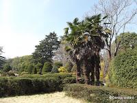Palm trees, pruned hedges - Kyoto Botanical Gardens, Japan