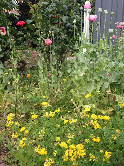 Yellow vetch and tall pink opium poppies growing under the roses.