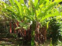 Red heliconias - Ho'omaluhia Botanical Garden, Kaneohe, HI
