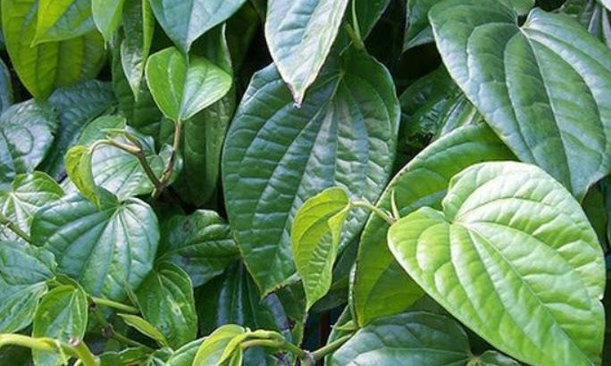 cara menghilangkan bekas jerawat dengan daun sirih