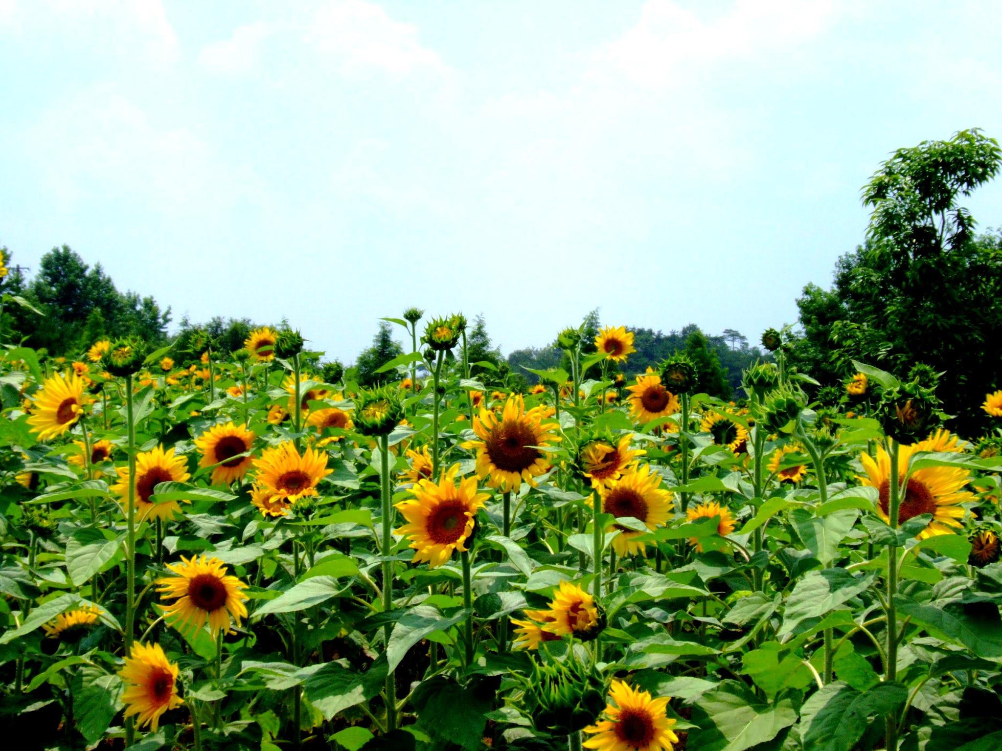 青空 黄色い向日葵(ヒマワリ) ひまわり 写真素材