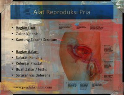 Sistem Reproduksi Pria Beserta Fungsinya