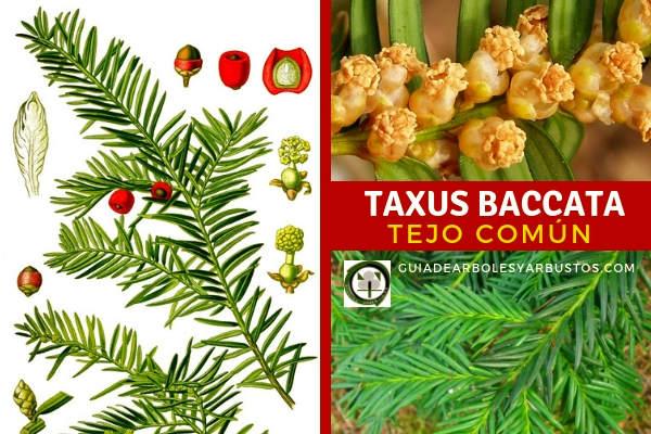 El Tejo común, Taxus baccata, tambien conocido como Tejo, Teixo, Teix, Agin