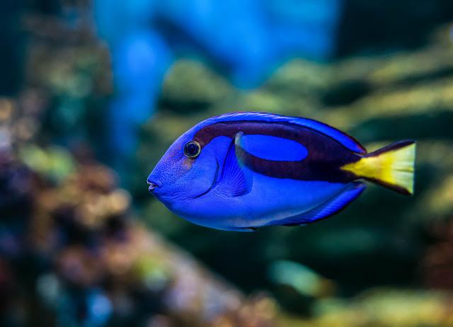 Mengenal Ikan Blue Tang, Si Ikan Dory Pemain Film Finding Nemo