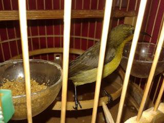 mengajari kolibri makan voer