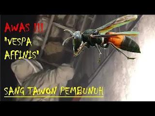 tawon Vespa affinis  atau ndas adalah tawon yang berbahaya