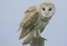 burung hantu tyto alba/serak jawa/barn owl