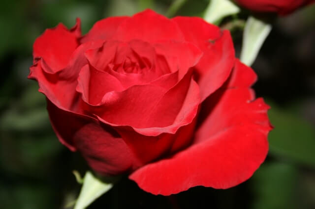 Red Rose in Close Up Photography HD Copyright Free Image