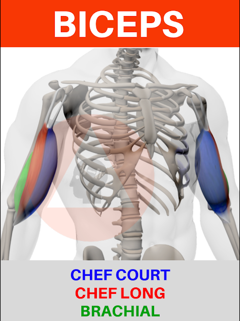 musculation fitness anatomie biceps chef long chef court brachial antérieur