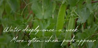 water peas