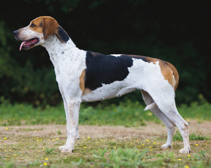 About Dog English Foxhound