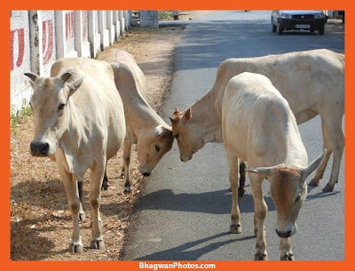 Gau Mata Images Hd Download