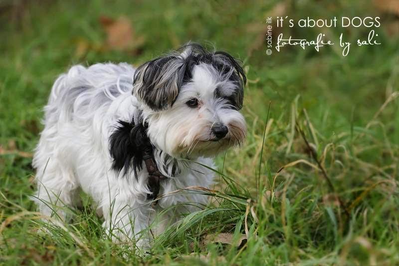 Biewer Yorkshire Terrier Lotta im hohen Gras