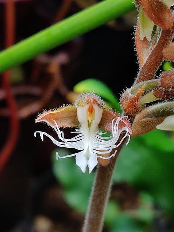 Anoectochilus reinwardtii