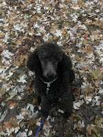 Black Poodle sitting in the leaves